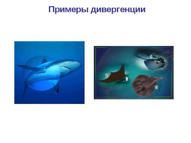 Примеры дивергенции Акула Скаты