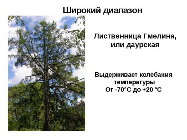 Широкий диапазон Лиственница Гмелина, или даурская Выдерживает колебания температуры От -70°С до +20 °С