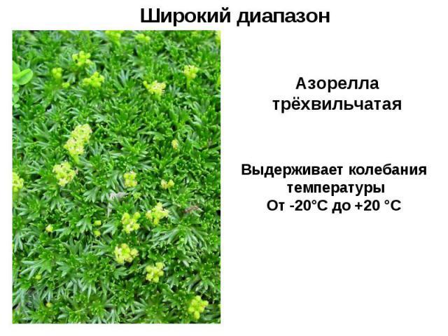 Широкий диапазон Азорелла трёхвильчатая Выдерживает колебания температуры От -20°С до +20 °С