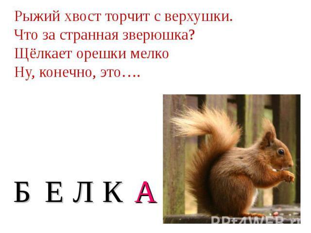 Рыжий хвост торчит с верхушки. Что за странная зверюшка? Щёлкает орешки мелко Ну, конечно, это….