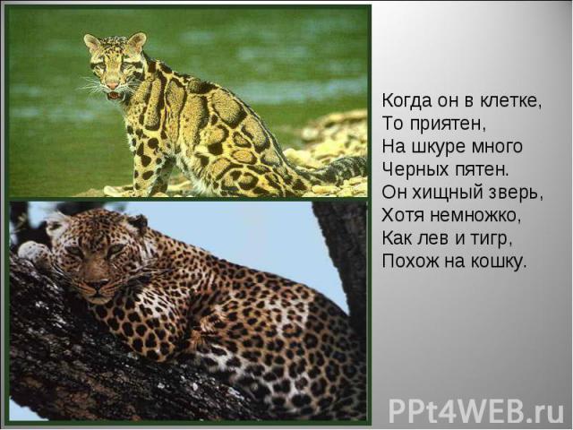 Когда он в клетке, То приятен, На шкуре много Черных пятен. Он хищный зверь, Хотя немножко, Как лев и тигр, Похож на кошку.