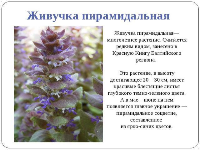 Живучка пирамидальная Живучка пирамидальная— многолетнее растение. Считается редким видом, занесено в Красную Книгу Балтийского региона. Это растение, в высоту достигающее 20—30 см, имеет красивые блестящие листья глубокого темно-зеленого цвета. А в…