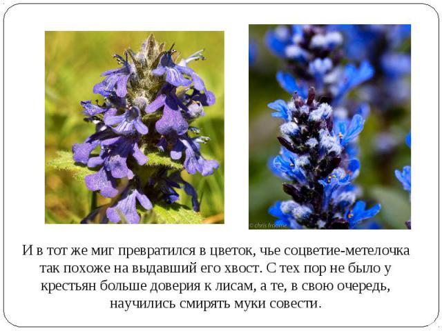 И в тот же миг превратился в цветок, чье соцветие-метелочка так похоже на выдавший его хвост. С тех пор не было у крестьян больше доверия к лисам, а те, в свою очередь, научились смирять муки совести.