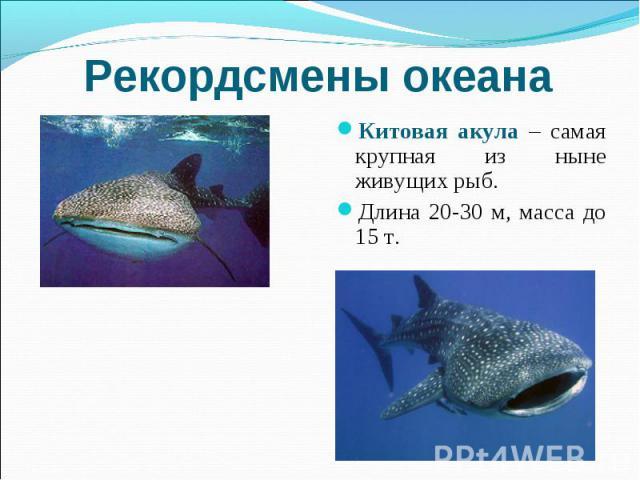 Рекордсмены океана Китовая акула – самая крупная из ныне живущих рыб. Длина 20-30 м, масса до 15 т.