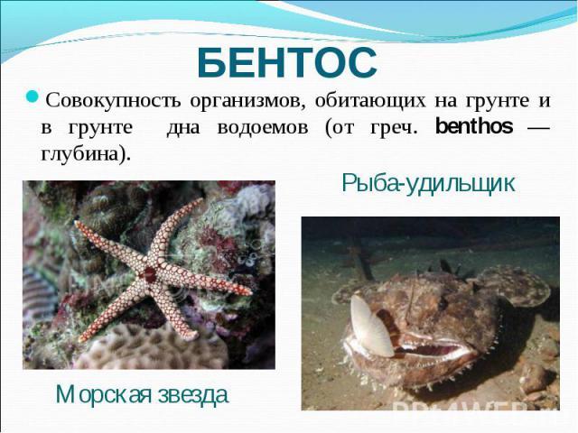 БЕНТОС Совокупность организмов, обитающих на грунте и в грунте дна водоемов (от греч. benthos — глубина). Рыба-удильщик Морская звезда