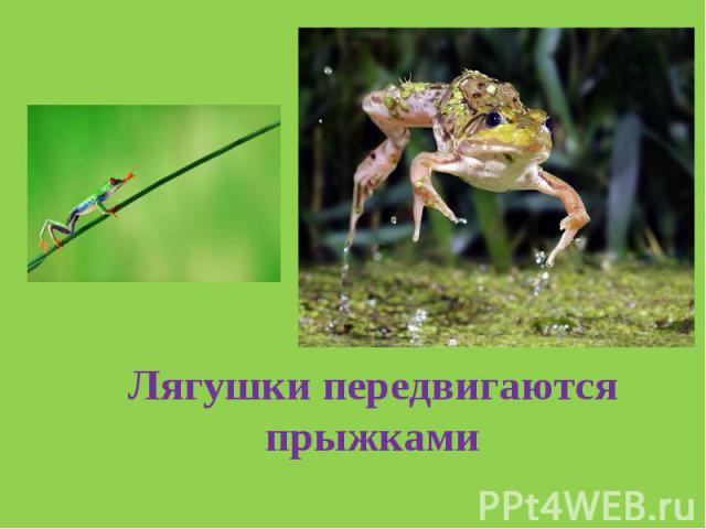 Лягушки передвигаются прыжками