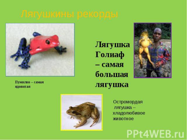 Лягушкины рекорды Пумилио – самая ядовитая Лягушка Голиаф – самая большая лягушка Остромордая лягушка – хладолюбивое животное