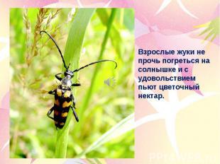 Взрослые жуки не прочь погреться на солнышке и с удовольствием пьют цветочный не