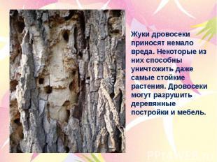 Жуки дровосеки приносят немало вреда. Некоторые из них способны уничтожить даже
