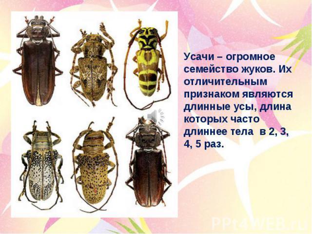 Усачи – огромное семейство жуков. Их отличительным признаком являются длинные усы, длина которых часто длиннее тела в 2, 3, 4, 5 раз.