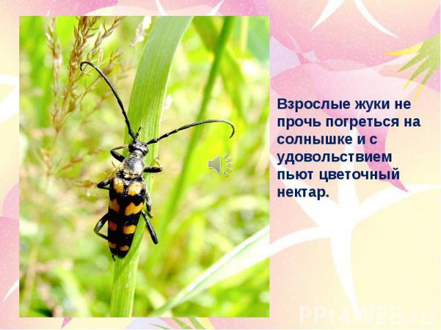 Взрослые жуки не прочь погреться на солнышке и с удовольствием пьют цветочный нектар.