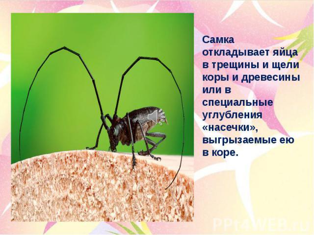 Самка откладывает яйца в трещины и щели коры и древесины или в специальные углубления «насечки», выгрызаемые ею в коре.