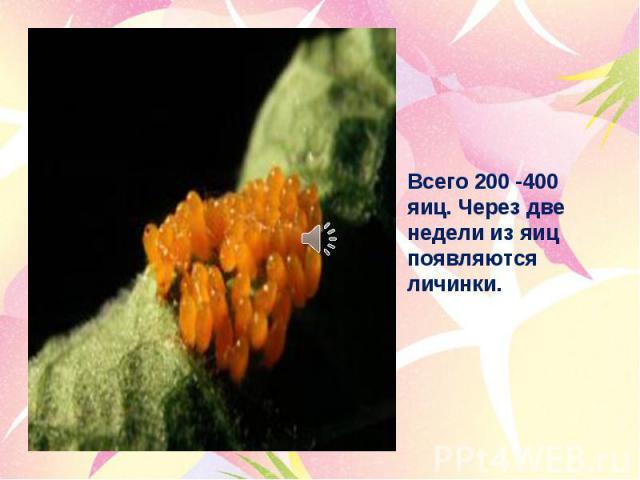 Всего 200 -400 яиц. Через две недели из яиц появляются личинки.