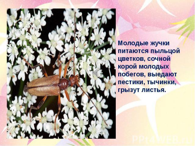 Молодые жучки питаются пыльцой цветков, сочной корой молодых побегов, выедают пестики, тычинки, грызут листья.