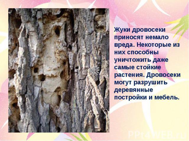 Жуки дровосеки приносят немало вреда. Некоторые из них способны уничтожить даже самые стойкие растения. Дровосеки могут разрушить деревянные постройки и мебель.