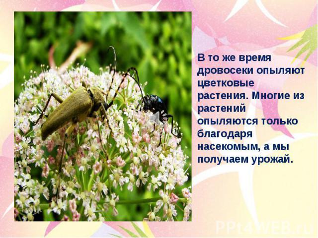 В то же время дровосеки опыляют цветковые растения. Многие из растений опыляются только благодаря насекомым, а мы получаем урожай.