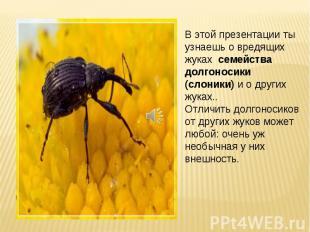 В этой презентации ты узнаешь о вредящих жуках семейства долгоносики (слоники) и