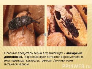 Опасный вредитель зерна в хранилищах – амбарный долгоносик. Взрослые жуки питают