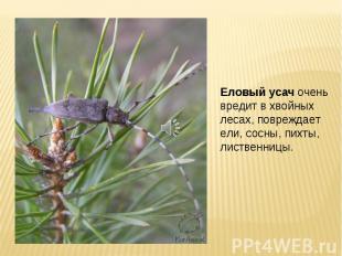 Еловый усач очень вредит в хвойных лесах, повреждает ели, сосны, пихты, лиственн