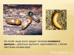 На полях чаще всего вредит личинка посевного щелкуна – довольно крупного, коричн