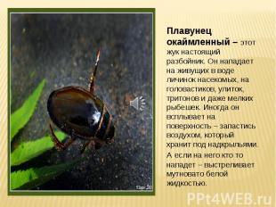 Плавунец окаймленный – этот жук настоящий разбойник. Он нападает на живущих в во