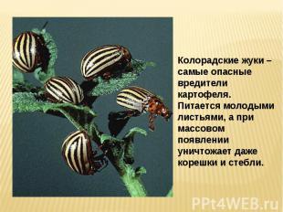 Колорадские жуки – самые опасные вредители картофеля. Питается молодыми листьями