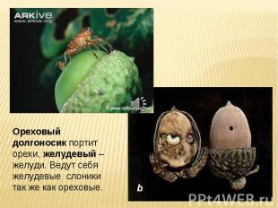 Ореховый долгоносик портит орехи, желудевый – желуди. Ведут себя желудевые слони