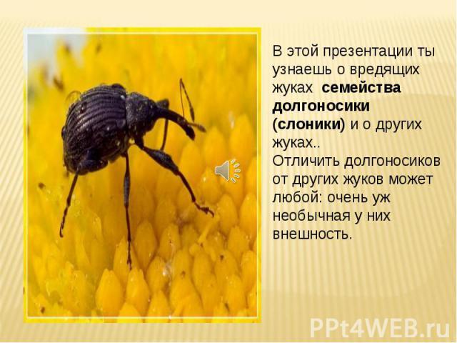 В этой презентации ты узнаешь о вредящих жуках семейства долгоносики (слоники) и о других жуках.. Отличить долгоносиков от других жуков может любой: очень уж необычная у них внешность.