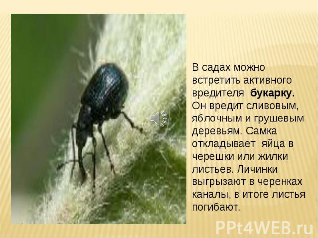 В садах можно встретить активного вредителя букарку. Он вредит сливовым, яблочным и грушевым деревьям. Самка откладывает яйца в черешки или жилки листьев. Личинки выгрызают в черенках каналы, в итоге листья погибают.