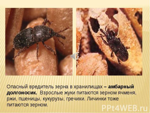 Опасный вредитель зерна в хранилищах – амбарный долгоносик. Взрослые жуки питаются зерном ячменя, ржи, пшеницы, кукурузы, гречихи. Личинки тоже питаются зерном.