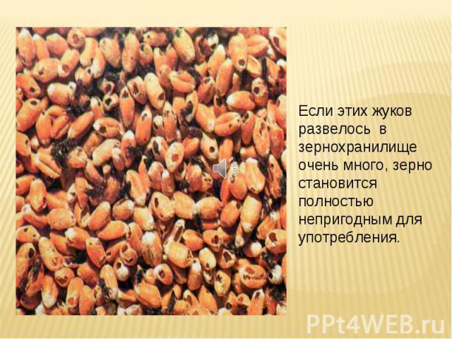 Если этих жуков развелось в зернохранилище очень много, зерно становится полностью непригодным для употребления.