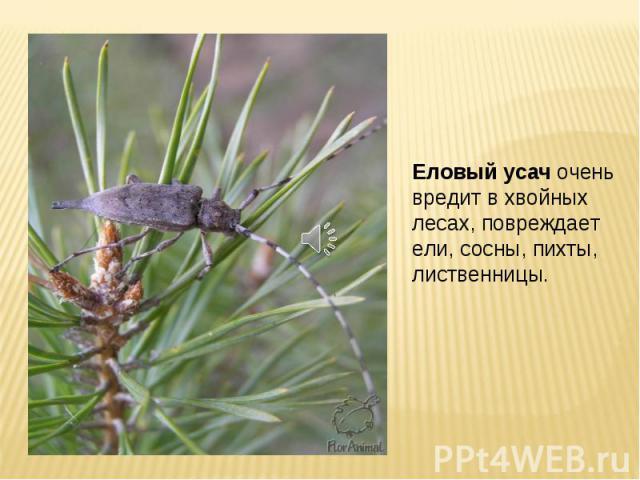 Еловый усач очень вредит в хвойных лесах, повреждает ели, сосны, пихты, лиственницы.