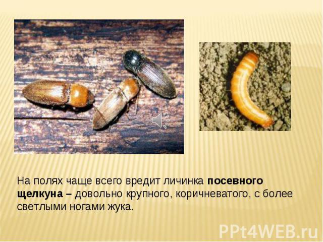На полях чаще всего вредит личинка посевного щелкуна – довольно крупного, коричневатого, с более светлыми ногами жука.