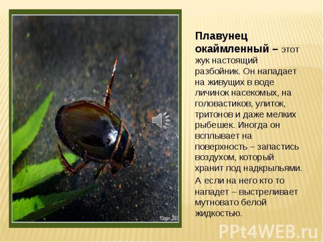 Плавунец окаймленный – этот жук настоящий разбойник. Он нападает на живущих в воде личинок насекомых, на головастиков, улиток, тритонов и даже мелких рыбешек. Иногда он всплывает на поверхность – запастись воздухом, который хранит под надкрыльями. А…