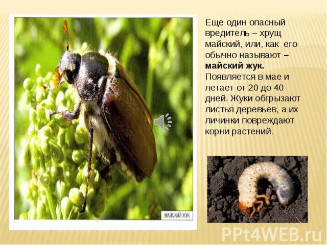 Еще один опасный вредитель – хрущ майский, или, как его обычно называют – майский жук. Появляется в мае и летает от 20 до 40 дней. Жуки обгрызают листья деревьев, а их личинки повреждают корни растений.