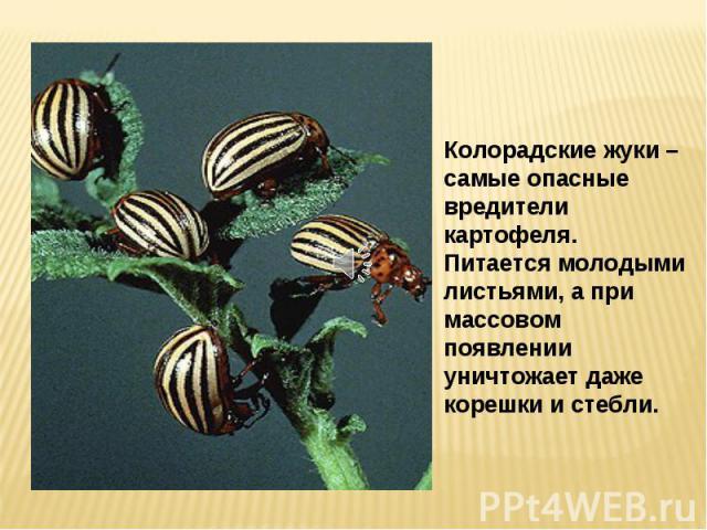 Колорадские жуки – самые опасные вредители картофеля. Питается молодыми листьями, а при массовом появлении уничтожает даже корешки и стебли.