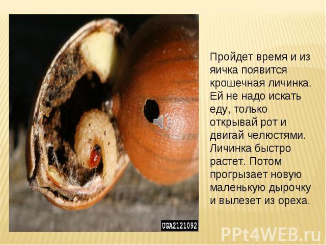 Пройдет время и из яичка появится крошечная личинка. Ей не надо искать еду, только открывай рот и двигай челюстями. Личинка быстро растет. Потом прогрызает новую маленькую дырочку и вылезет из ореха.