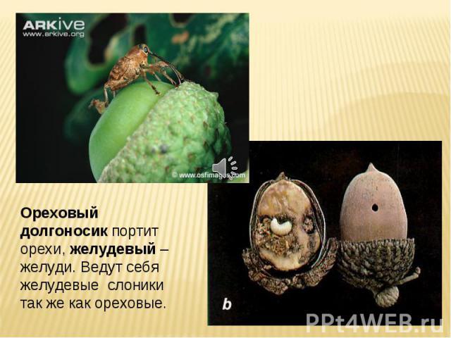 Ореховый долгоносик портит орехи, желудевый – желуди. Ведут себя желудевые слоники так же как ореховые.