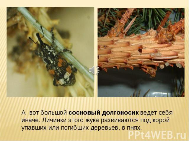 А вот большой сосновый долгоносик ведет себя иначе. Личинки этого жука развиваются под корой упавших или погибших деревьев, в пнях.