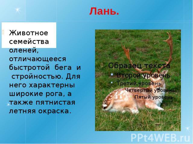 Лань. Животное семейства оленей, отличающееся быстротой бега и стройностью. Для него характерны широкиерога, а также пятнистая летняя окраска.
