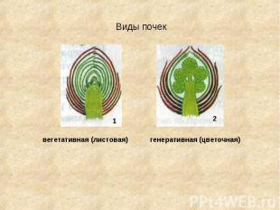 Виды почек вегетативная (листовая) генеративная (цветочная)