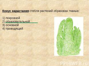 Конус нарастания стебля растений образован тканью: покровной образовательной 3)