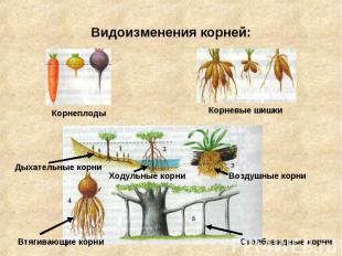 Видоизменения корней: Корнеплоды Корневые шишки Дыхательные корни Ходульные корн