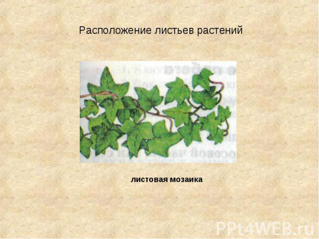 Расположение листьев растений листовая мозаика