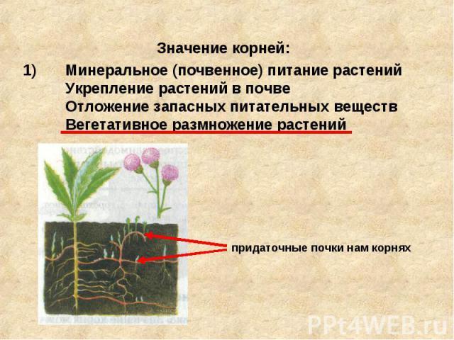 Значение корней: Минеральное (почвенное) питание растений Укрепление растений в почве Отложение запасных питательных веществ Вегетативное размножение растений придаточные почки нам корнях