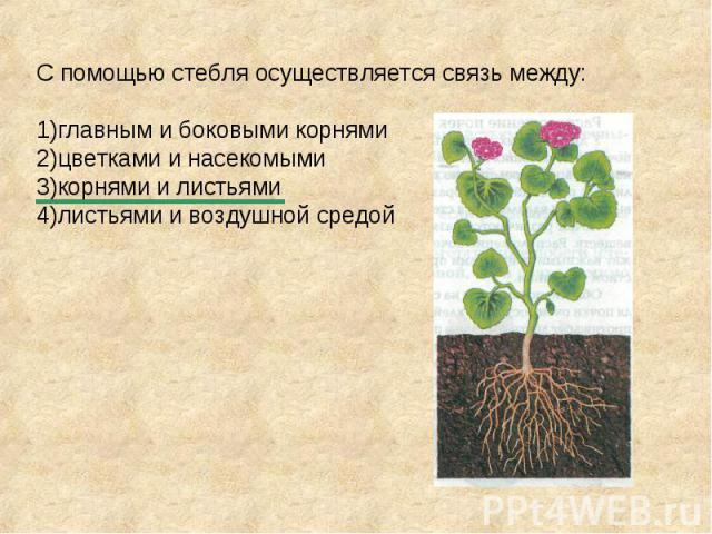 С помощью стебля осуществляется связь между: 1)главным и боковыми корнями 2)цветками и насекомыми 3)корнями и листьями 4)листьями и воздушной средой