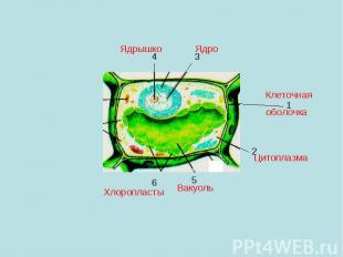 Ядрышко Ядро Клеточная оболочка Цитоплазма Вакуоль Хлоропласты