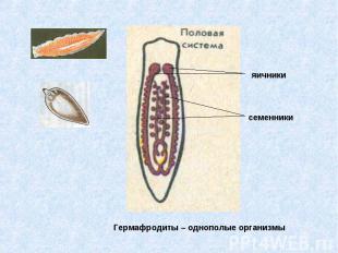 Гермафродиты – однополые организмы