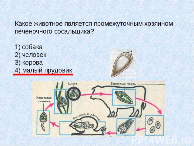 Какое животное является промежуточным хозяином печеночного сосальщика? собака человек 3) корова 4) малый прудовик