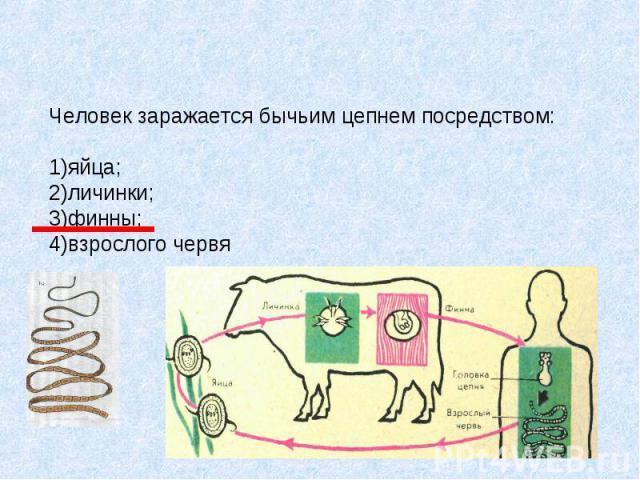 Человек заражается бычьим цепнем посредством: 1)яйца; 2)личинки; 3)финны; 4)взрослого червя